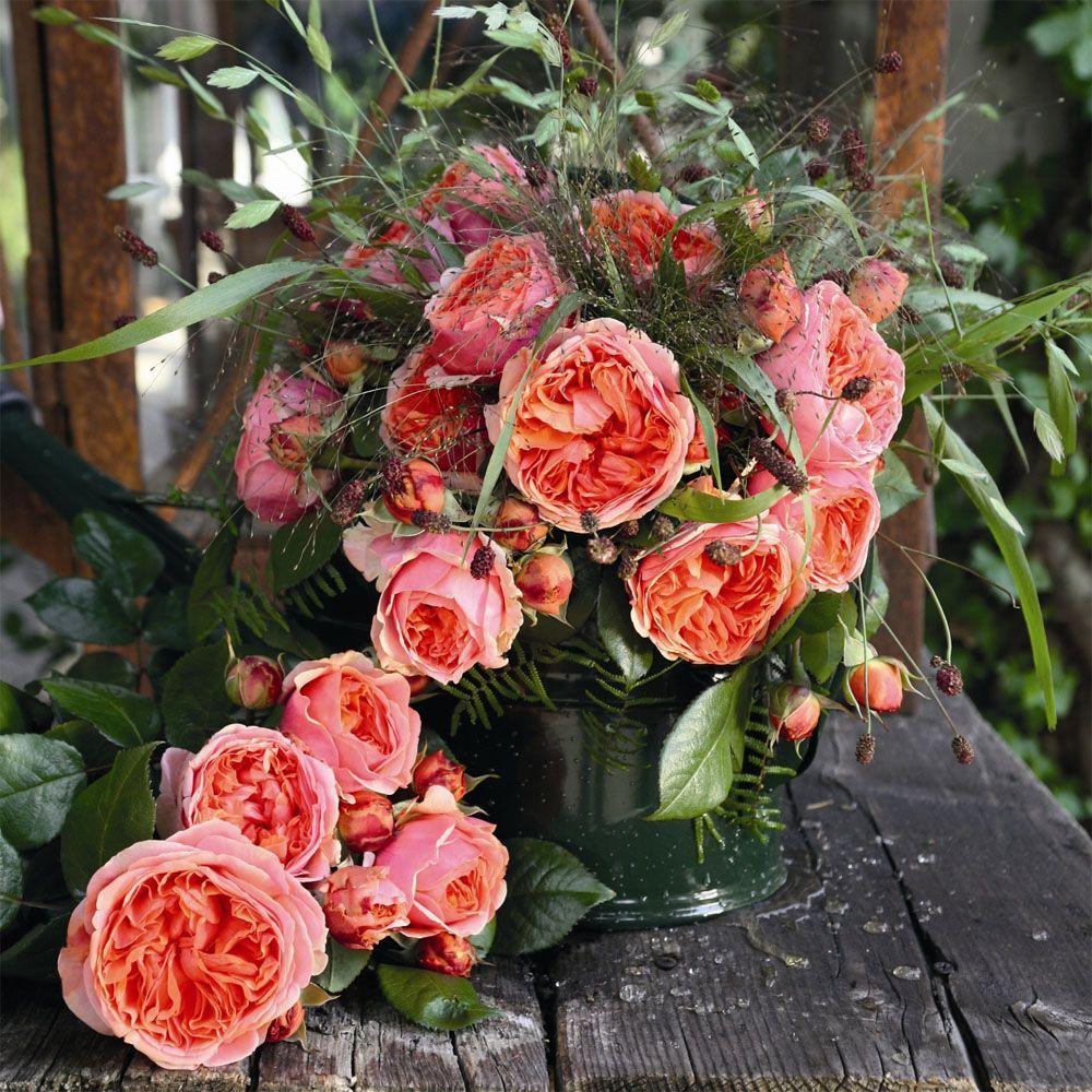 роза чиппендейл фото и описание сегодня